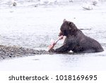 a wild grizzly bear feasts on... | Shutterstock . vector #1018169695