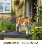 cute jack russel terrier on a...   Shutterstock . vector #1018220365
