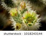 Cholla Cactus Flower At Joshua...