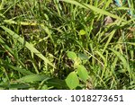 euphorbia heterophylla l... | Shutterstock . vector #1018273651