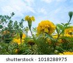 beautiful yellow marigold... | Shutterstock . vector #1018288975
