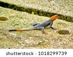 Small photo of Red-headed rock agama (Agama agama) on an oil company camp on Bonny Island, Nigeria