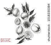 vector sketch background fruit. ... | Shutterstock .eps vector #1018330384