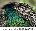 plumage of a peacock   Shutterstock . vector #1018348351