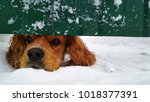 curious dog cocer spaniel | Shutterstock . vector #1018377391