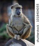 olive baboon  amboseli national ... | Shutterstock . vector #1018404055