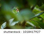 wild crimson fronted or finsch... | Shutterstock . vector #1018417927