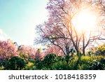 beautiful cherry blossom trees... | Shutterstock . vector #1018418359