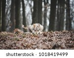 wolf lying on the ground...   Shutterstock . vector #1018419499