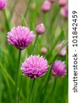 Small photo of Flowering purple chive blossoms against green are a favorite homegrown herb found in spring gardens. Botanical Name - Allium Schoenoprasum