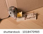 Small photo of gray rat, mousetrap and cheese