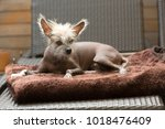 portrait of a chinese hairless... | Shutterstock . vector #1018476409