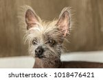 portrait of a chinese hairless... | Shutterstock . vector #1018476421