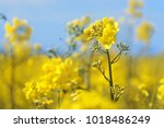 rape flowers close up against a ... | Shutterstock . vector #1018486249