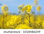 rape flowers close up against a ... | Shutterstock . vector #1018486249