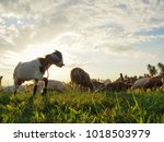 group of domestic goats feeding ... | Shutterstock . vector #1018503979