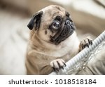 funny sad pug with sad begging... | Shutterstock . vector #1018518184