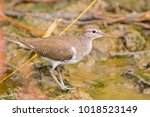 Small photo of Closeup Common Sandpiper, Palearctic wading bird stands on muddy ground with shallow water in Thailand (Actitis hypoleucos)
