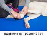 paw of a dog gets treated in... | Shutterstock . vector #1018541734