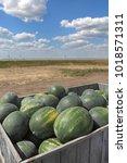 heap of watermelon at tractor... | Shutterstock . vector #1018571311