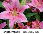 Beautiful Pink Lily.white...