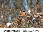 eurasian bullfinch in bush | Shutterstock . vector #1018624291