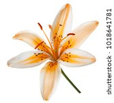 beautiful lily flower isolated... | Shutterstock . vector #1018641781