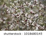 Small photo of a close up view of a Retama wild flower a flowering bush with delicate white flowers, blooms in Israel, Mediterranean