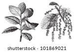 Cork Oak  Quercus Suber   ...