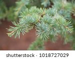 cedrus atlantica  the atlas... | Shutterstock . vector #1018727029