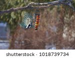 Little Downy Woodpecker