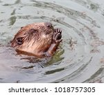 ordinary beaver  or river... | Shutterstock . vector #1018757305