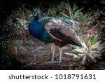 plaka forest  kos island ...   Shutterstock . vector #1018791631