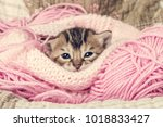 Stock photo sweet bengal kitten 1018833427