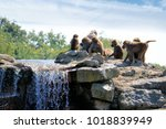 group of baboons  | Shutterstock . vector #1018839949