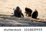 group of baboons  | Shutterstock . vector #1018839955