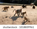 group of baboons  | Shutterstock . vector #1018839961