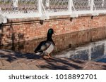 duck standing in a pond on a... | Shutterstock . vector #1018892701