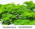 green leaves of delonix regia ... | Shutterstock . vector #1018900054
