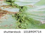 algal blooms caused by the... | Shutterstock . vector #1018909714