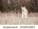 Red Akita Inu Running At...