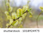 Blooming Yellow Willow In The...