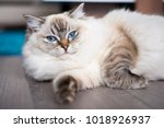 Ragdoll Cat Lying On The Wooden ...