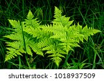 bright green fern plants... | Shutterstock . vector #1018937509