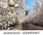 blossoming almond tree on an... | Shutterstock . vector #1018955467