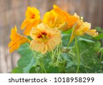 nasturtium plant with yellow... | Shutterstock . vector #1018958299