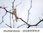 Cape Verde Sand Grasshopper...