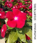 Small photo of Beautiful red vinca flower blooming in the garden