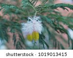 flowers of sickle pod ... | Shutterstock . vector #1019013415