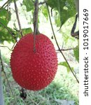 Small photo of Ribe gac fruit on the vine